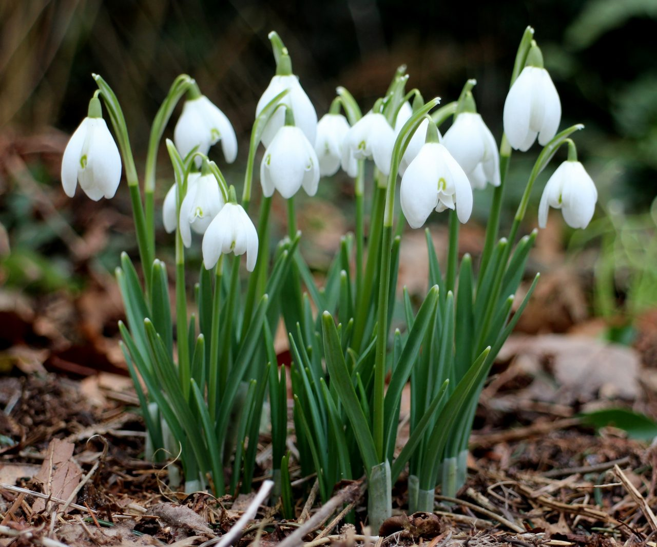 galanthus_topheal